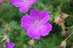Geranium sanguineum Flower (30/06/2012, Kew Gardens, London)