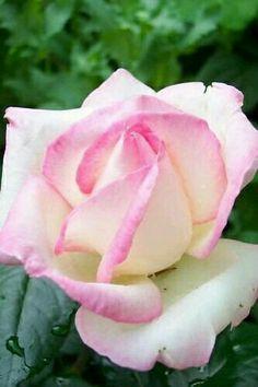 ~Rosa Princesa Grace.