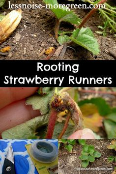 How to Root Strawberry Runners Strawberry Plant Runners, Strawberry Plant Care, Strawberry Seed, Strawberry Patch, Tomato Garden, Fruit Garden, Edible Garden, Cherry Fruit Tree, Vine Fruit