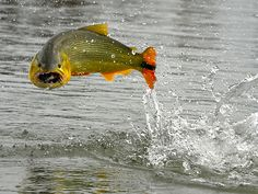 I'm not sure if this fish is fond of having his picture taken. Oh well, it's a great shot! Deep Sea Fishing, Gone Fishing, Fishing Trips, Fishing Stuff, Dawn And Dusk, Fishing Quotes, Trout Fishing, Great Shots, The Incredibles