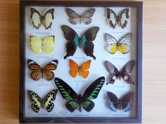Seriously the cheapest deal i've ever seen. Usually it's 50$ for one butterfly mounted...  Mounted 12 Beautiful butterflies wood shadow box by TopButterflies