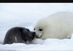 A female harp seal reaches the surface at a breathing hole and touches noses with her adorable young pup in another intimate wildlife shot Baby Harp Seal, Baby Seal, Cute Baby Animals, Animals And Pets, Cute Seals, Beautiful Sea Creatures, Seal Pup, Funny Animal Pictures, Pet Birds