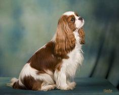 Cavalier King Charles, Cavalier King Spaniel, King Charles Puppy, Cocker Spaniel Puppies, Spaniel Dog, King Charles Spaniel, Baby Animals Super Cute, Cutest Dog Ever, Loch Lomond