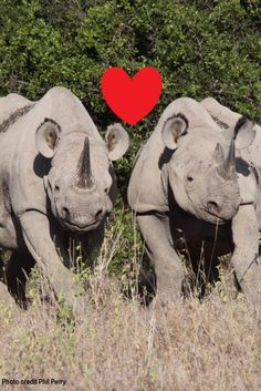Did you know that rhinocEROS includes the name of the Greek god of love EROS?  Learn more about each of the five species of rhino: white, black, greater one-horned, Sumatran and Javan. http://www.savetherhino.org/rhino_info/species_of_rhino