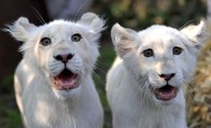 lion cubs         #cats #kitty #kitty_cats #kitteh #feline #pussy_cat