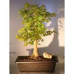 Bonsai Boy's Trident Maple Bonsai Tree acer buergerianum$250.00: www.amazon.com/Bonsai-Boys-Trident-Maple-buergerianum/dp/B007OA0LE4/?tag=sure9600pneun-20