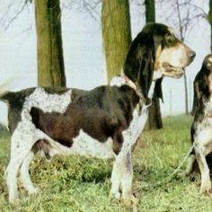 basset bleu de gascogne | BASSET BLEU DE GASCOGNE. Razas de perros de caza (Mundo Tema)