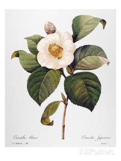 White Camellia Prints at AllPosters.com