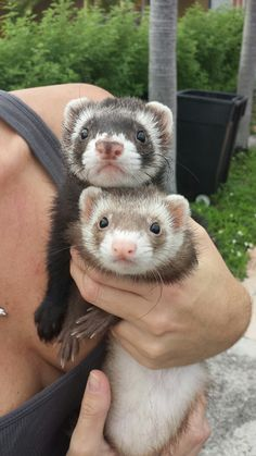 Cute example of a cinnamon colored ferret. (I swear honey I'm not just pinning this because of the cleavage) ;)