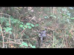 Beccacce 2012 - Parte I - Rosa di Crocedomini e Attila delle Milizie