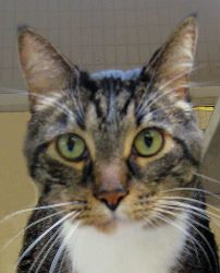 Adopt Tyler @ Feline Rescue, St. Paul MN. He's a BIG boy who love love loves petting and snuggling