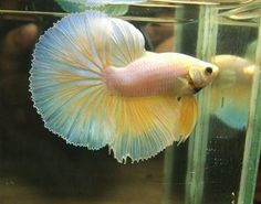 betta fish (2)