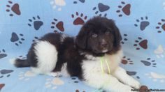 Newfoundland Puppies - Classified Ad