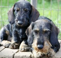 ❤ Wire haired dachshund- I used to have one that looked liked the upclose dog. His name was Willie. RIP