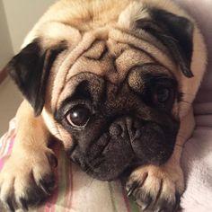 Love Pugs #pug