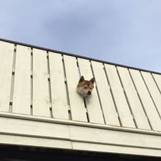 This Shiba who has limited himself to the life of a watchdog. | 11 Shibas Who Keep Getting Stuck In Things