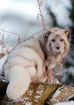 234 - Arctic fox   Flickr - Photo Sharing!