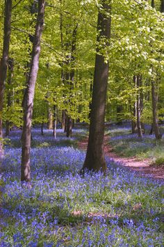 Over half the worlds Bluebell Woods are in the UK
