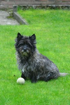 Simple Cairn Terrier Ball Adorable Dog - d98509ad591c5a2ca0a33bc6582cae53--cairns-cairn-terriers  Graphic_383466  .jpg