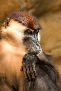 Collared mangabey - Collared mangabey ( Cercocebus torquatus torquatus )