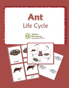 Life Cycle of an Ant- 3 Part Cards and Life Cycle chart with color illustrations and blacklines too.  {FREE}