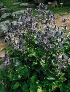 Eryngium alpinum, zu deutsch Alpen-Mannstreu genannt.