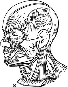 nice Muscles Head Neck Picture Sketch Drawing Coloring Page Neck Drawing, Anatomy Drawing, Anatomy Art, Sketch Drawing, Anatomy Coloring Book, Coloring Books, Coloring Pages, Neck Muscle Anatomy, Head Muscles