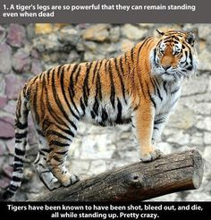 22 awesome facts about tigers - CLICK TO VIEW THE REST!
