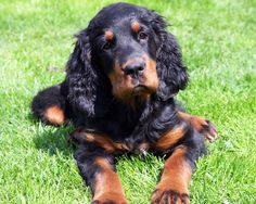 """Gordon Setter - our first dog after we got married - a beautiful female pup named """"Brodie.""""  A gorgeous dog!"""