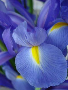 ~ Blauwe Iris