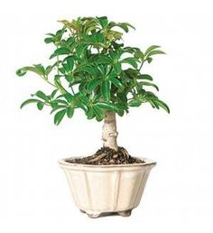 Ponytail Palms are the perfect accent bonsai for low maintenance enthusiasts. These trees thrive in low light conditions and require infrequent wau2026  sc 1 st  Pinterest & Ponytail Palms are the perfect accent bonsai for low maintenance ... azcodes.com