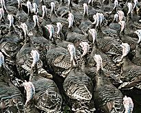 Christmas turkeys: heading for the table
