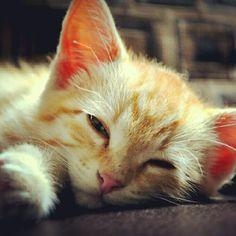 Sleepy kitten- Photo from the Instacanvas gallery for loridegenstien. #photography #art #decor #cats #pets