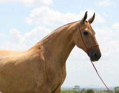 Výsledok vyhľadávania obrázkov pre dopyt campolina horse