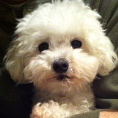 My dream pup. Bichon Dog, Maltese Poodle, Maltese Dogs, Cute Puppies, Cute Dogs, Dogs And Puppies, Doggies, Animals And Pets, Cute Animals