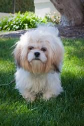 Maggie is an adoptable Lhasa Apso Dog in Spring Valley, CA. Maggie is an 8 month old spayed Lhasa Apso. She weighs 15 pounds, is�up to date on shots and�micro-chipped. As a puppy, she is very active. ...