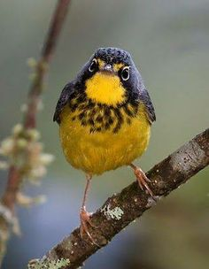 Canada warbler. Found in eastern Canada and eastern US