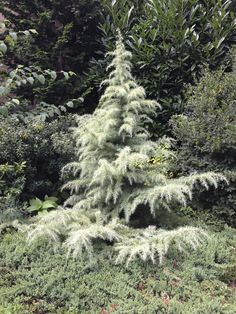 Cedrus deodara 'Snow Sprite' (Himalayan Cedar) sends out ivory-white new growth… Dwarf Evergreen Trees, Evergreen Landscape, Dwarf Trees, Evergreen Garden, Trees And Shrubs, Trees To Plant, Evergreen Trees Landscaping, Conifer Trees, Garden Shrubs