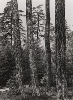 Albert Renger-Patzsch. Pine Trees in Nuremberg State Forest. c. 1955