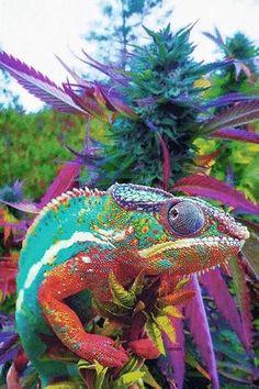 Cannabis Chameleon!