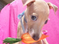 If you carrot all??? then, Be Mine!   Italian Greyhound puppy