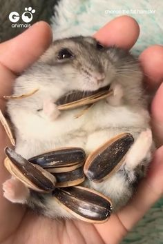 The most skillful sunflower seeds eating champion I've ever seen! The most skillful sunflower seeds eating champion I've ever seen! Funny Hamsters, Robo Dwarf Hamsters, Hamsters As Pets, Rodents, Rats, Funny Cats, Cute Little Animals, Cute Funny Animals, Funny Animal Pictures