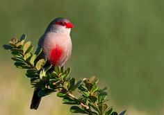 Common Waxbill by Desiré Darling on 500px
