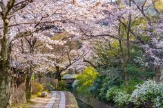 Kyoto, Japan at Philosopher's Walk in the Springtime. sakura, cherry blossom, spring, season, seasons, trees, the real japan, real japan, japan, japanese, tips, resource, tricks, information, guide, community, adventure, explore, trip, tour, vacation, holiday, planning, travel, tourist, tourism, backpack, hiking http://www.therealjapan.com/subscribe/