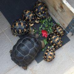 Aldabra and radiata tortoise having lunch