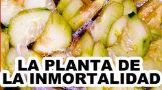 """¡PLANTA DE LA INMORTALIDAD! ¡ESTE VEGETAL TE MANTENDRÁ COMO UN ROBLE!  """"..."""
