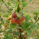 Jahn's Prairie gooseberry 3+: $10  [SPRING]--from wild Canadian stock