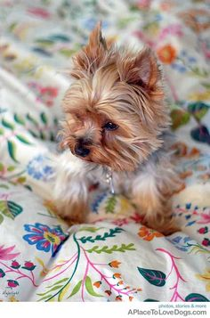 The Popular Pet and Lap Dog: Yorkshire Terrier - Champion Dogs Yorky Terrier, Yorshire Terrier, Yorkies, Yorkie Puppy, Teacup Yorkie, Cute Puppies, Cute Dogs, Dogs And Puppies, Baby Animals
