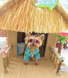 Love this! #yorkie #beach #sunfunday