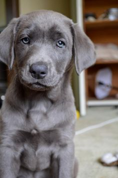 Silver lab. Often thought to be a mix of lab and Weimaraner, but true pups do exist and will darken as they get older. A true litter of silver labs often look striped like tabby cats when first born, but the stripes will disappear quickly. How cute, never met a lab I didnt like. :)